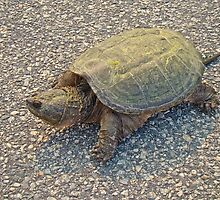 Common Snapping Turtle - Chelydra serpentina by MotherNature