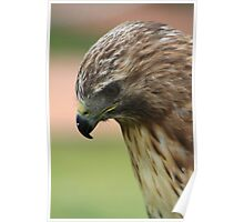 "Red-tailed Hawk - ""Amanda"" Poster"