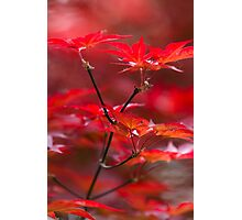 red leaves of maple Photographic Print
