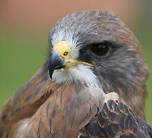 "Swainson's Hawk - ""Dusty"" by Alyce Taylor"