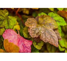 Heuchera Green Spice Photographic Print