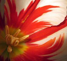Night Tulip Close Up by sfonativeboy