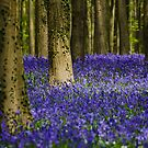 Blue carpet treatment - Hallerbos, Belgium by Ulla Jensen