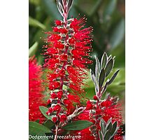 Callistemon (Bottle Brush) Photographic Print