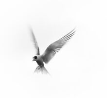 Tern by Su Walker