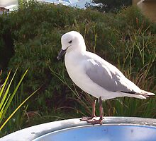 Garbage Bin Seagull by Robert Phillips