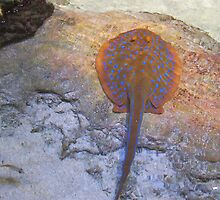 Spotted Stingray by Robert Phillips