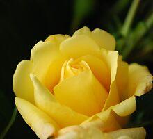 a rose by amrita125