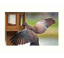 Ring Necked Dove (From My Window) Art Print