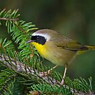 Common Yellowthroat Warbler by Daniel  Parent