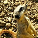 Sentry Duty-Meerkat by Eileen O'Rourke