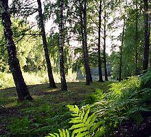 Birch grove by Juozasfoto