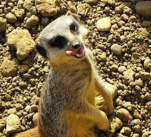 Mm...tasty-Meerkat enjoying a snack by Eileen O'Rourke
