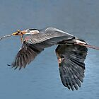 Nesting great blue heron by bettywiley