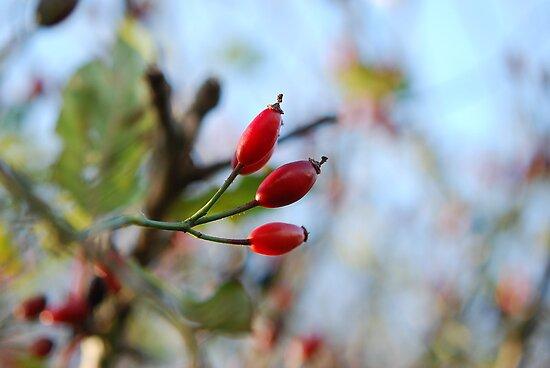 Autumn berries - South coastal walk by HelenVidler