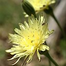 Prickly Goldenfleece by marens