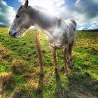 Welsh Pony by Julie-anne Cooke Photography