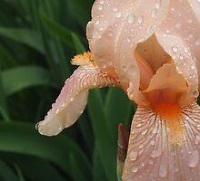 Iris In The Rain by Jane Jenkins