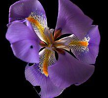 Little Iris by Craig Higson-Smith