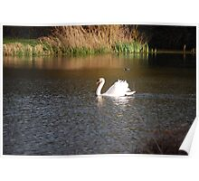 Graceful Swan on the Lake - Kentish Conservation Area Poster