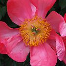 Glorious Peony by Jane Jenkins