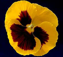 Yellow Pansy by Craig Higson-Smith