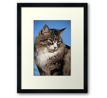 Silver tabby cat Framed Print