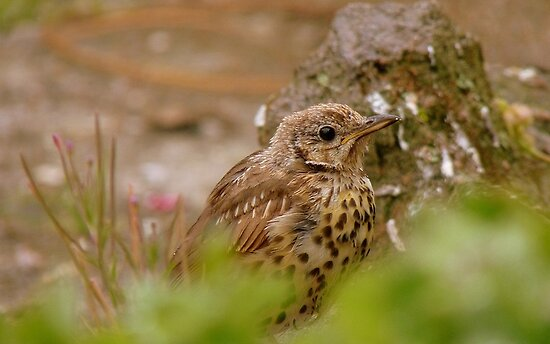 Am I Invisible Yet? -  Juvenile Song Thrush - NZ by AndreaEL