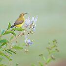 Little Sunbird by Jenny Dean