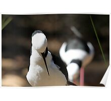 Black-winged Stilt Poster