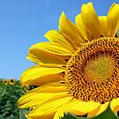 Sunshine On My Shoulder - A sunflower basking in the sun by Betty Northcutt
