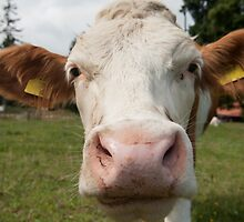 Nosey cow by stuwdamdorp