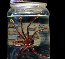 Lab spider specimen by Johan Larson