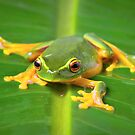 Oranged-thighed tree frog by Johan Larson
