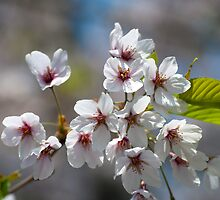 Cherry Blossoms in the Morning by Gary Chapple