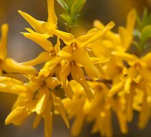 Forsythia Flowers by Gary Chapple