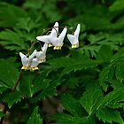 Dutchman's Breeches - Dicentra cucullaria by jules572