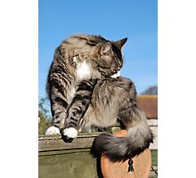 Tabby cat cleaning fur Photographic Print