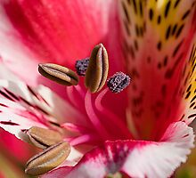 Alstromeria by Ray Clarke