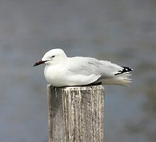Seagull by Erika Lieftink