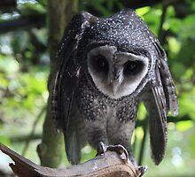 Owl by Scott Schrapel