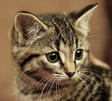 Lil Tabby by Stephen Mitchell