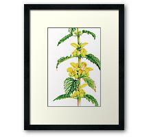 Yellow Archangel - Lamiastrum galeobdolon Framed Print