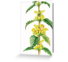 Yellow Archangel - Lamiastrum galeobdolon Greeting Card