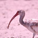 Young Ibis, As Is by Kim McClain Gregal