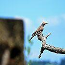 Woodpecker by Carl LaCasse