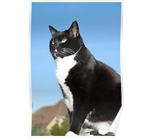 Senior black and white cat Poster