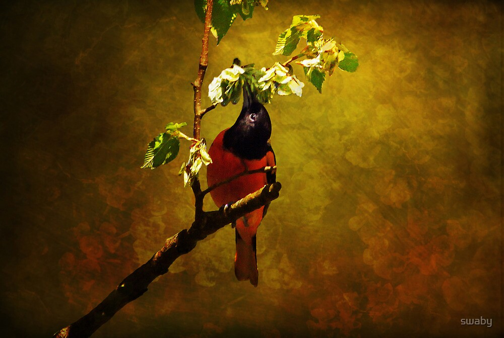 Male Oriole by swaby