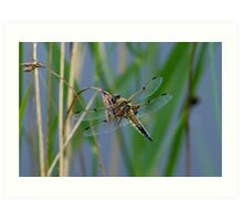 Dragonfly on reed Art Print