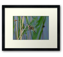 Dragonfly on reed Framed Print